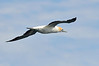 Gannet in flight over Port Phillip Bay<br /> January 2013