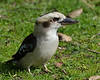 Kookaburra at  'Seawinds', Arthur's Seat State Park, Mornington Peninsula<br /> July 2013