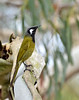 White-eared Honeyeater<br /> Balcombe Estuary Reserver, July 2013