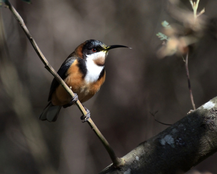 Eastern Spinebill<br /> Balcombe Estuary Reserve, July 2013