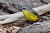 Eastern Yellow Robin<br /> Balcombe Estuary Reserve, July 2013