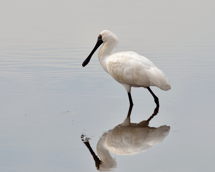 ...and one last shot.<br /> Royal Spoonbill, Balcombe Estuary, August 2013