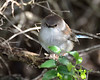 Superb Fairy-wren, male (in eclipse)<br /> Balcombe Estuary Reserve, July 2013