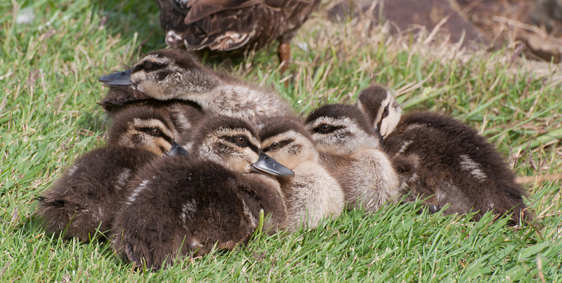 Time for a snooze, after all that swimming and preening.