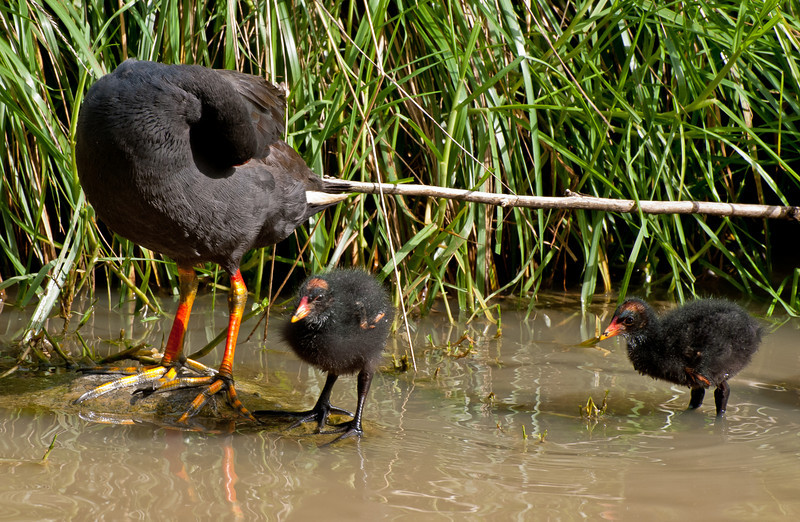 Standing by while Momma preens her feathers.<br /> Dusky Moorhen chicks at Knox Arboretum, February 2011