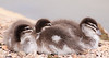 Australian Wood Duck babies<br /> That orangey tip of the beak makes it look like it's poking out its tongue.