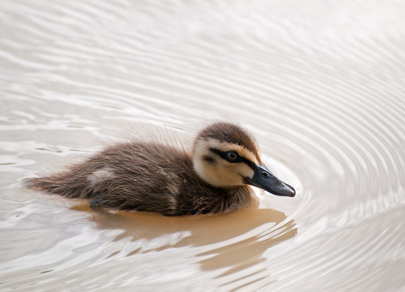 Big ripples from a little duck.