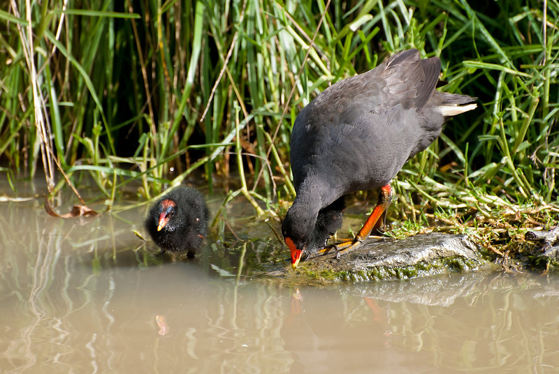 Learning to forage?<br /> Dusky Moorhen and young