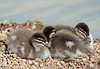 Australian Wood Duck (ducklings)