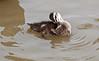 Preening in Momma-duck's shadow.