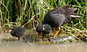 Hey, a tonsure is a valid hairstyle too...<br /> Dusky Moorhen and chicks