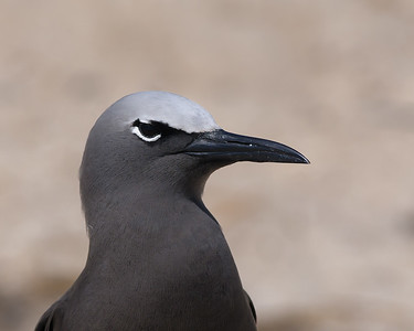 Brown Noddy, Great Barrier Reef, Australia, July 2012