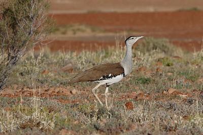 Australian Bustard - Male