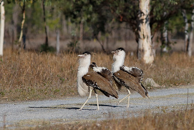 Australian Bustards  Dance-off