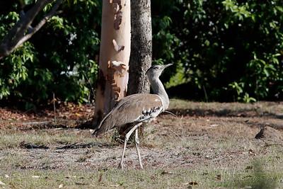 Australian Bustard - Female