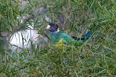Australian Ringneck - Port Lincoln Parrot