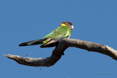Australian Ringneck - 28 Parrot