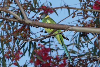 Australian Ringneck - Twenty-eight Parrot