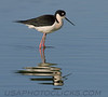 Black Necked Stilt (b2252)