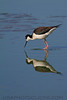 Black Necked Stilt (b2253)