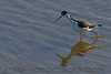 Black Necked Stilt (b2254)