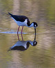 Black Necked Stilt (b2255)