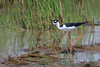 Black Necked Stilt (b2251)