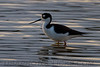 Black Necked Stilt (b2257)