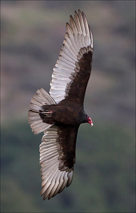 Turkey Vulture - Cathartes aura  The Turkey Vulture is a scavenger and feeds almost exclusively on carrion. It finds its meals using its keen vision and sense of smell, flying low enough to detect the gasses produced by the beginnings of the process of decay in dead animals.