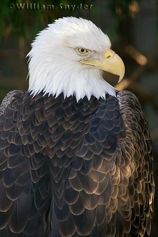 Eagle_Z5W00002 copy