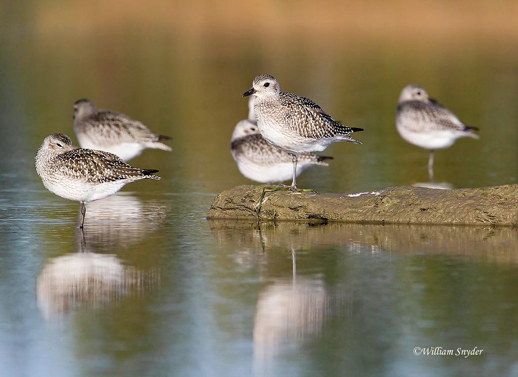 Shorebirds_Z5W7385
