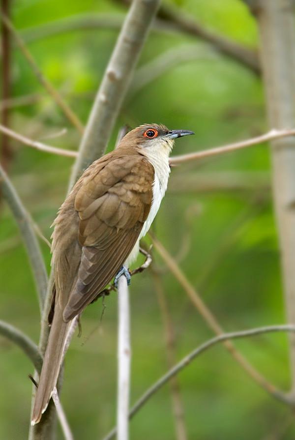 cuckoo1023
