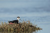 Black-necked Stilt - Palo Alto Baylands, Palo Alto, CA, USA