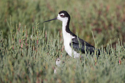 Black-necked Stilt with baby - Palo Alto, CA, USA