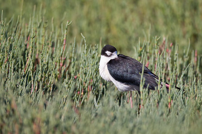 Black-necked Stilt  - Palo Alto, CA, USA