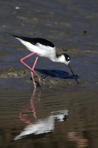 Black-necked Stilt, Bedwell Bayfront Park, Menlo Park, CA, USA