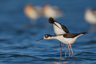 Black-necked Stilt - mating sequence - Radio Road, Redwood City, CA, USA