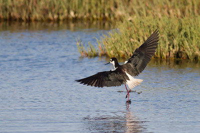 Black-necked Stilt in flight - testing 1D4 - Palo Alto, CA, USA