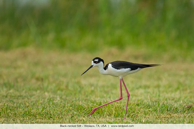 Black-necked Stilt - Weslaco, TX, USA