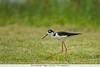 Black-necked Stilt - Weslaco, TX, USA