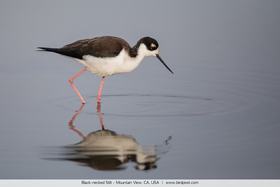 Black-necked Stilt - Mountain View, CA, USA