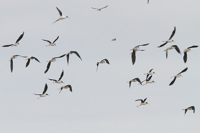 Black-Necked Stilts flying - Alviso, CA