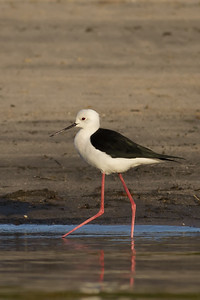 Black-necked Stilt - Aswan, Egypt