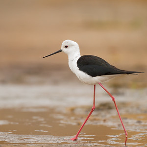 Black-winged Stilt - Tarangire National Park, Tanzania