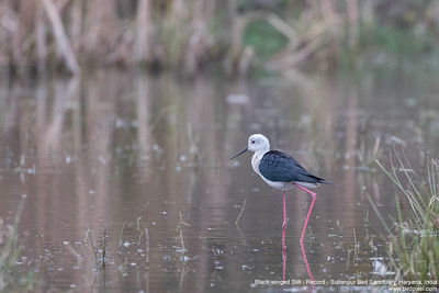 Black-winged Stilt - Record - Sultanpur Bird Sanctuary, Haryana, India