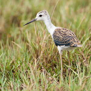 Black-winged Stilt - Juvenile - Kutch, Gujrat, India