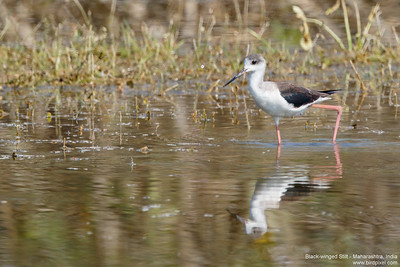 Black-winged Stilt - Maharashtra, India
