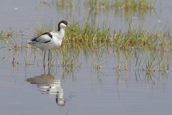 Avocets & Stilts - Recurvirostridae