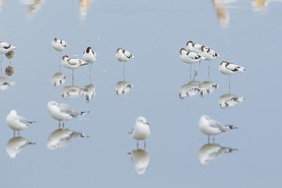 Pied Avocets and gulls - Lake Nakuru Naional Park, Kenya