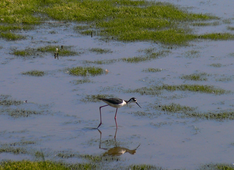 Black-Necked Stilt stalking prey (harbor)